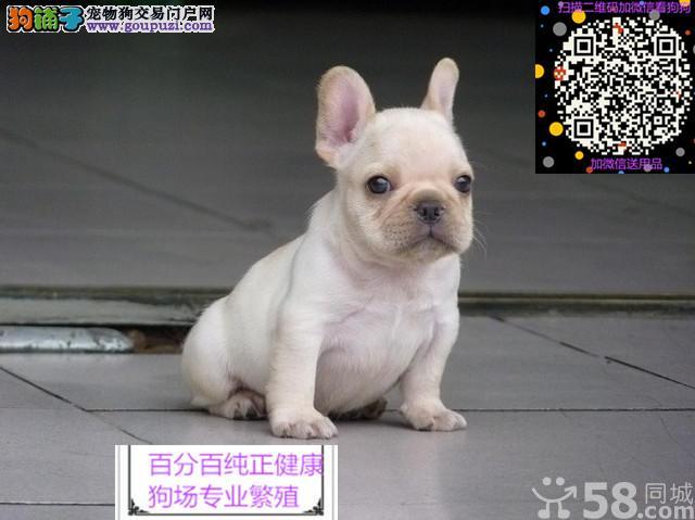 血统纯种法国斗牛犬狗狗出售 奶油白色黑白黑法牛