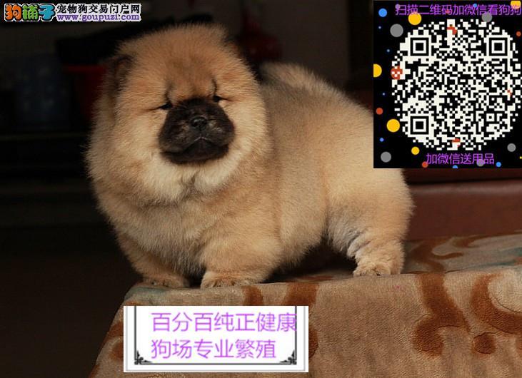 纯种健康松狮犬 白色黑色红色松狮购买有保障可签协议