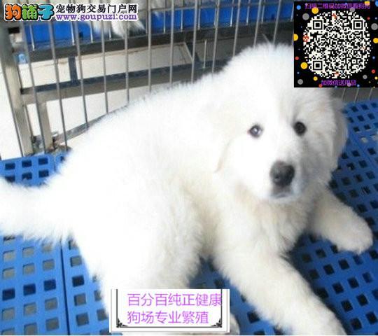 宠物狗繁殖场 出售纯种大白熊 价优质实