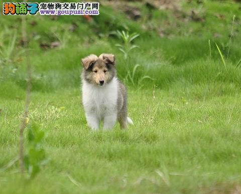 精品苏牧幼犬保纯健康疫苗齐全一品质纯粹
