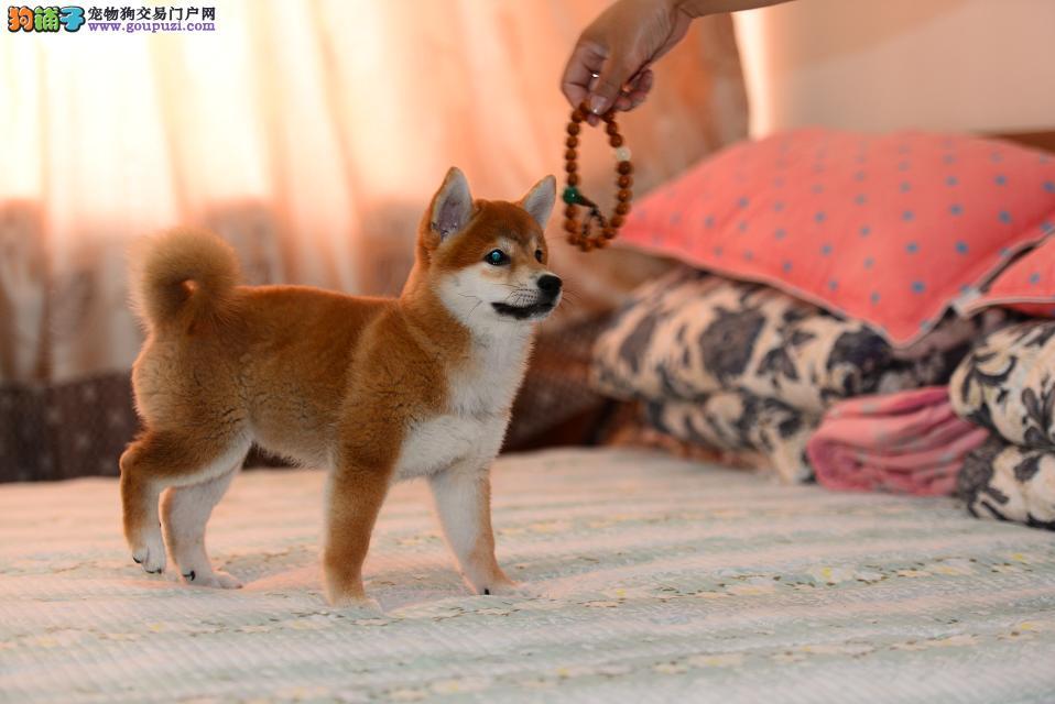 柴犬 聪明可爱家庭伴侣犬 健康保障 自家繁殖