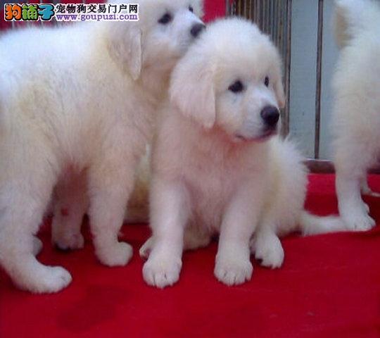 纯种大骨量大白熊幼犬 王者风范 品相纯正保证健康品