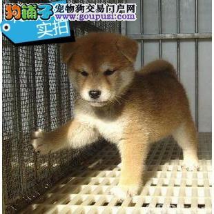 纯种日本柴犬拒绝土狗大黄串抵制中介狗贩子