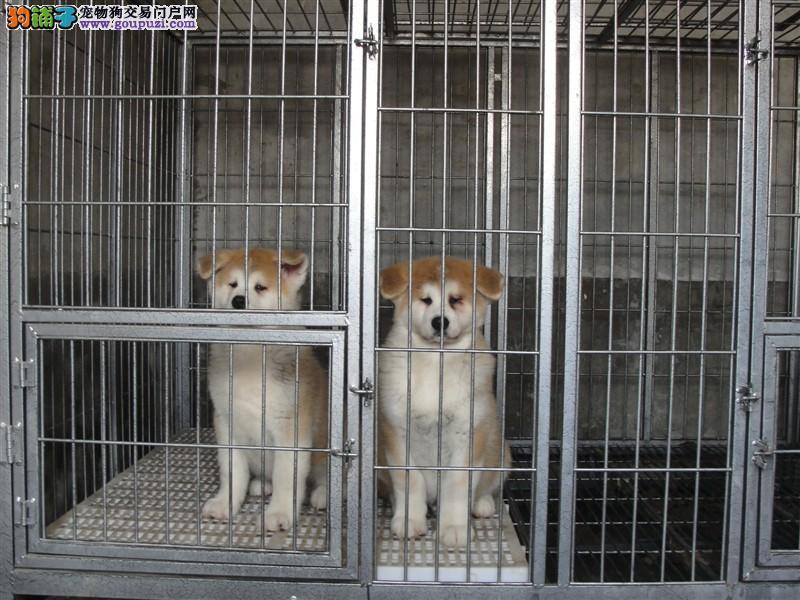 日系赛季秋田幼犬,三个月包退换,三年包治疗