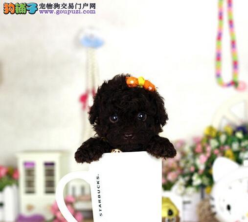 家养小体型 茶杯泰迪 玩具犬可见父母 包一年退