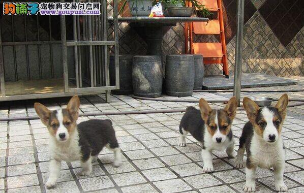 专业繁殖威尔士,三色柯基,两双色柯基犬,基地可