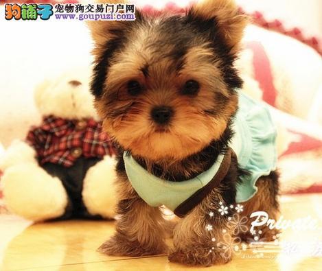 实物拍摄精品约克夏犬 保纯种健康 支持上门看狗