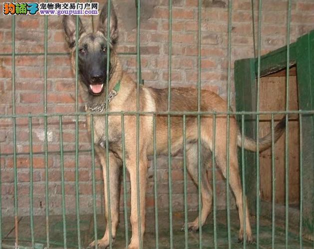 高品质马犬出售、高兴奋度、无胸花、高爆发力高弹