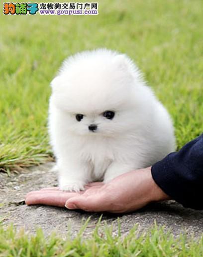 哈多利球体、茶杯、俊介幼犬网上中介多请大家擦亮眼