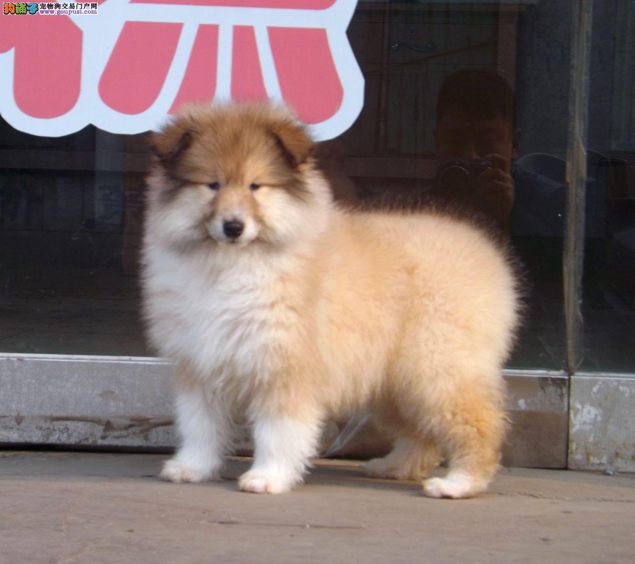 聪明活泼首选苏牧幼犬 常年有货  品相极佳毛色好
