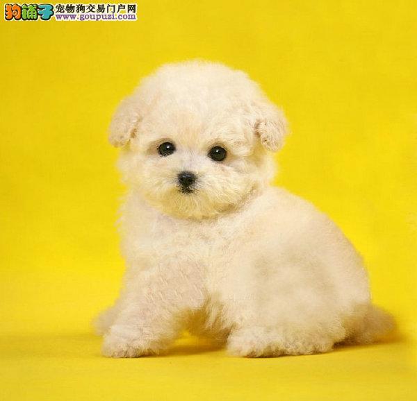 哪里有卖茶杯犬的 茶杯犬在哪里买纯种茶杯犬