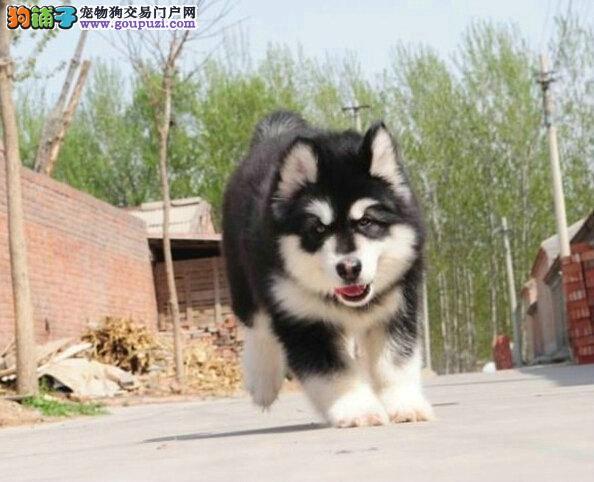 基地繁殖阿拉斯加 精品阿拉斯加幼犬出售