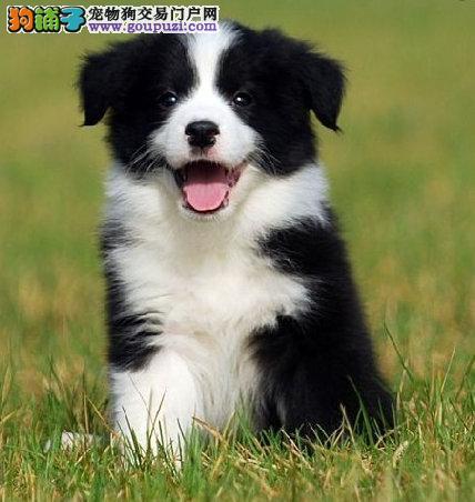 哪里有买边牧的七白三通边牧幼犬出售边牧多少钱