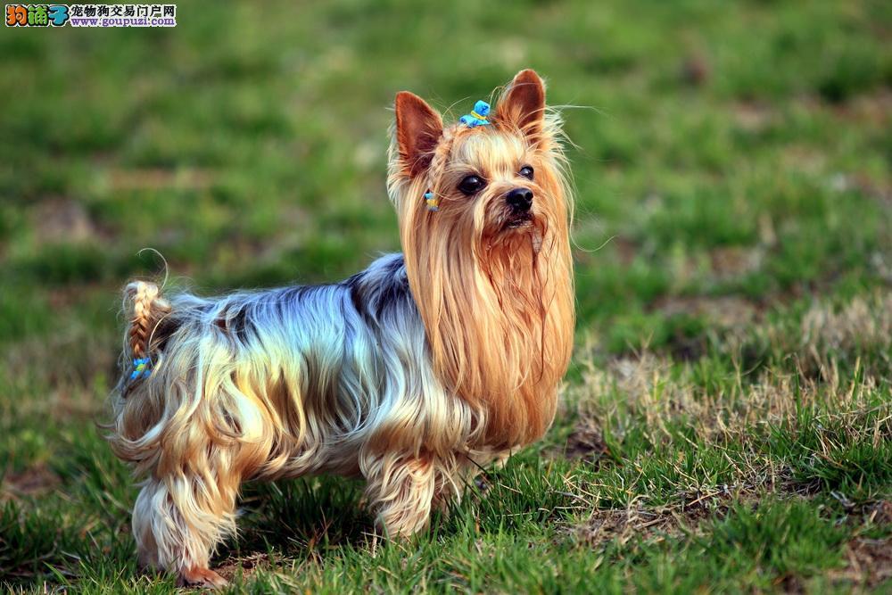 基地繁殖约克夏约克夏幼犬出售 精品约克夏出售