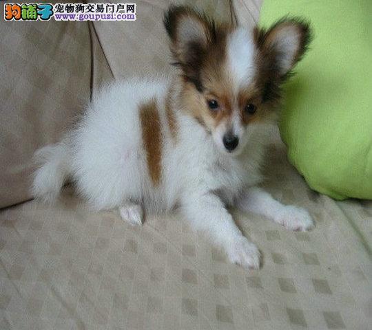 上海出售蝴蝶犬 打完疫苗带证书 信誉第一欢迎选购