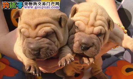 犬舍繁殖沙皮幼犬 包纯种健康 可以签协议