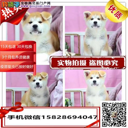 出售纯种秋田幼犬 英斗 杜高 雪纳瑞,可视频对接