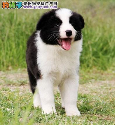 上海什么地方有狗场卖宠物狗/哪里有卖边境牧羊犬