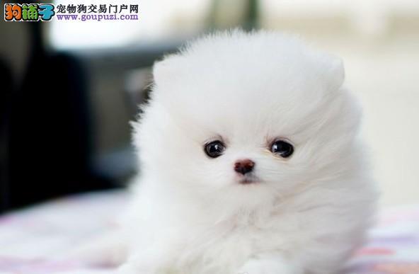出售博美幼犬哪里有卖博美的 博美多少钱