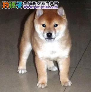 上海哪里有日本柴犬卖 上海日本柴犬多少钱