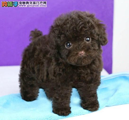 哪里有卖茶杯犬的 茶杯犬哪里买 纯种茶杯犬多少钱