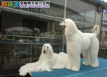 泰贝儿犬舍专业繁殖出售高品质阿富汗猎犬
