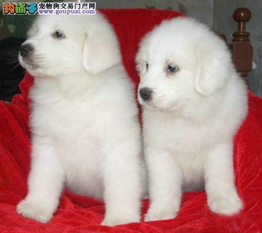 哪里有卖大白熊的 大白熊多少钱纯种大白熊