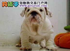 出售纯种赛级法国斗牛幼犬 品相好 价格低 健康保证