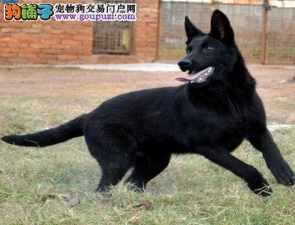 哪里有卖昆明犬昆明犬多少钱 纯种昆明犬