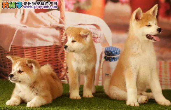 精品日系秋田犬出售,包纯种包健康多只可选