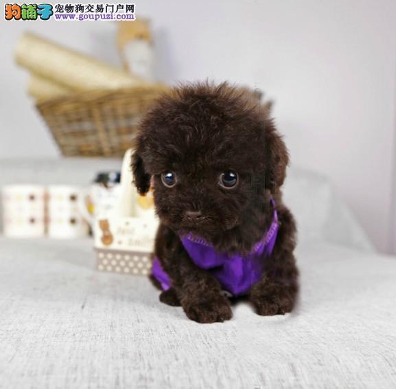 哪里有卖泰迪的 泰迪在哪里买 纯种泰迪幼犬