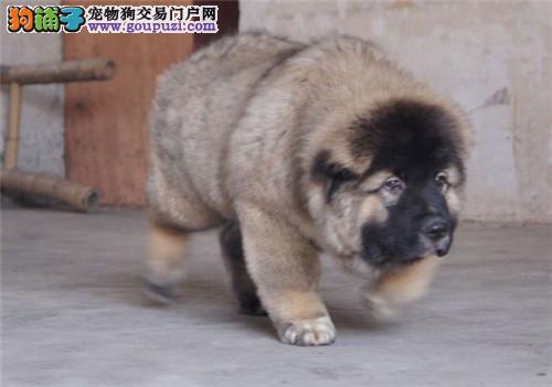 上海实体店犬舍售纯种高加索犬