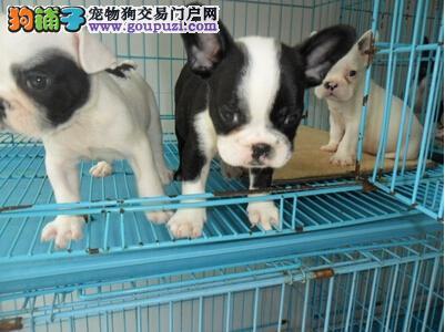 基地直销纯种法国斗牛犬;喜欢的朋友上门看狗