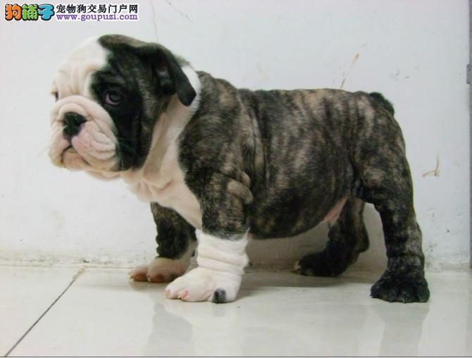 上海出售纯种英国斗牛犬狗狗疫苗驱虫已做欢迎上门选