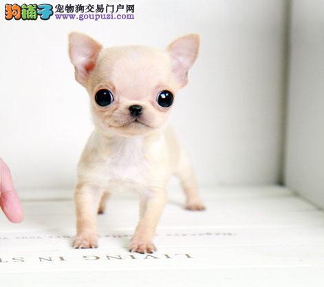 苹果头大眼睛吉娃娃幼犬 墨西哥吉娃娃 公母均有