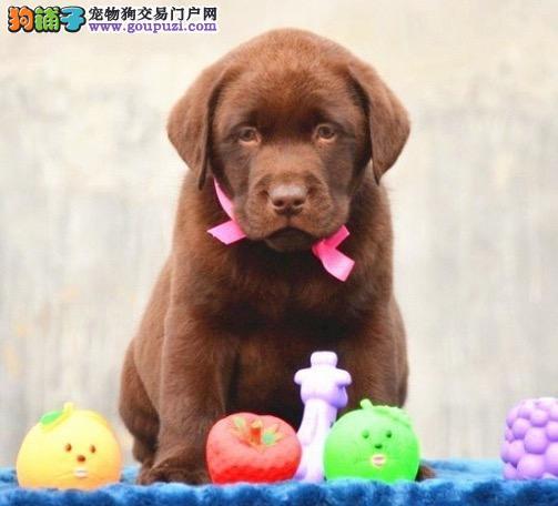活泼可爱的拉布拉多幼犬、拉不拉多犬出售中喽