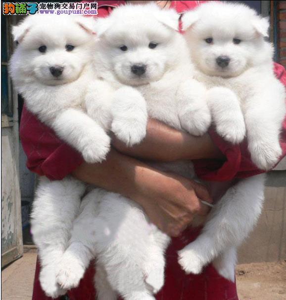 纯种精品萨摩犬出售 微笑天使萨摩耶幼犬 可上门看狗