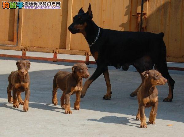 纯正血统杜宾犬多伯曼犬