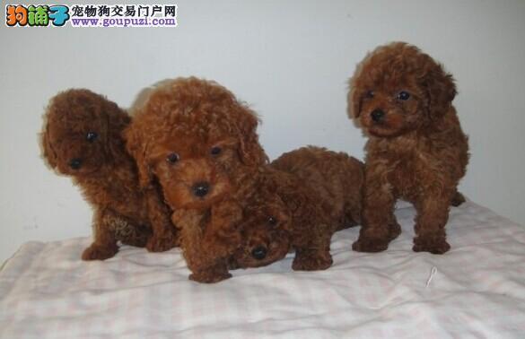 云南玉溪买狗请进 狗场专业繁殖出售泰迪狗狗