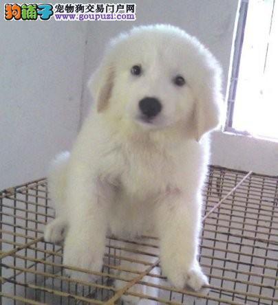 昆明哪里能买到纯种大白熊犬 大白熊犬价格