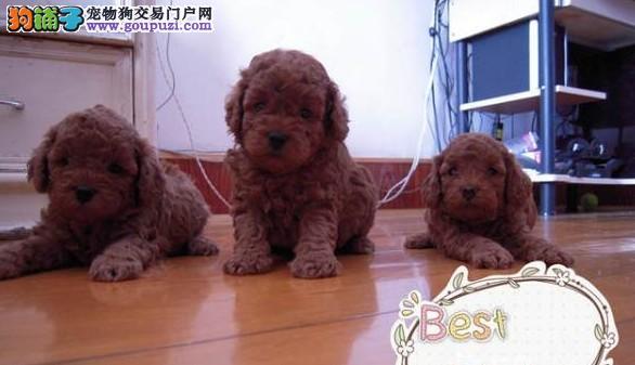 哈尔滨出售泰迪熊纯种幼犬