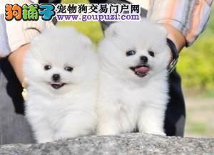怒江兰坪买狗/狗场常年出售博美 泰迪 比熊等名犬