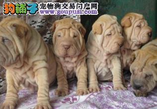 犬舍常年出售沙皮 腊肠 可卡博美等幼犬