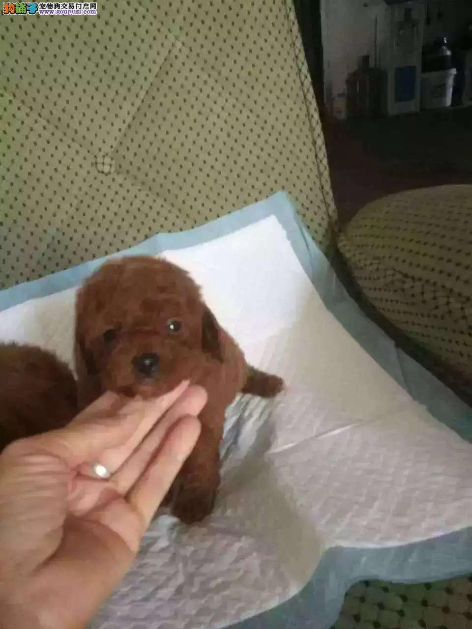 基地常年出售泰迪 博美小鹿 吉娃娃等幼犬