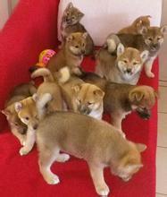 常年出售宠物狗幼犬,包纯种包健康