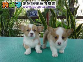 出售宠物狗幼犬,包纯种包健康