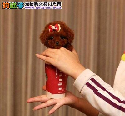 大连韩国纯种泰迪熊微小体 茶杯犬专卖保养活