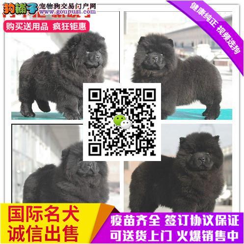 出售纯松狮 加微信看视频、可上门看狗