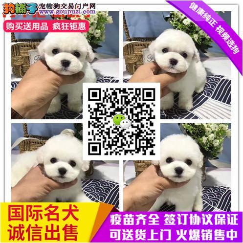 上海纯种茶杯玩具泰迪犬 品相好 颜色齐