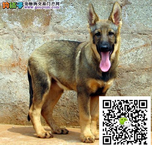 极品昆明犬 可加微信送用品